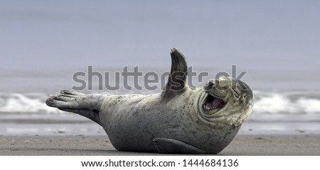 Happy seal smilling and enjoying on iceland beach