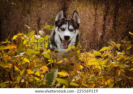 Happy Siberian Husky wolf color playing in the grass. Dog enjoying the sunshine on a yellow field of soybeans.