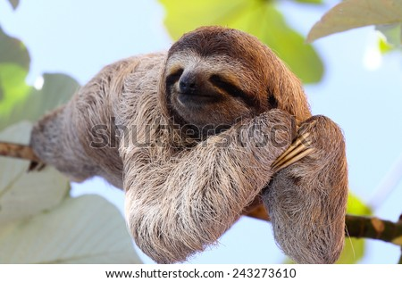 Happy sloth hanging on the tree #243273610
