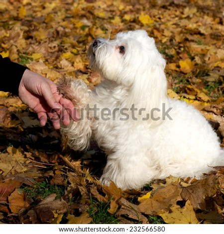 Happy small white dog sitting  with human hand