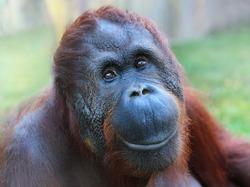 Happy smile of The Bornean orangutan (Pongo pygmaeus).