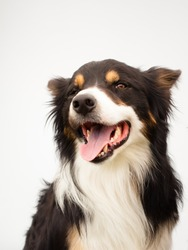happy smiling border-collie dog in studio with white background