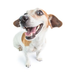 Happy smiling dog portrait. White background.  Cute Jack Russell terrier
