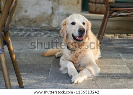 Happy smiling golden retriever young dog on pavement in old city downtown. Pets friendly vacations travel concept.                                       #1156313242