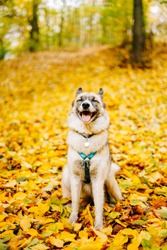 Happy smiling husky sitting in the yellow foliage in the forest