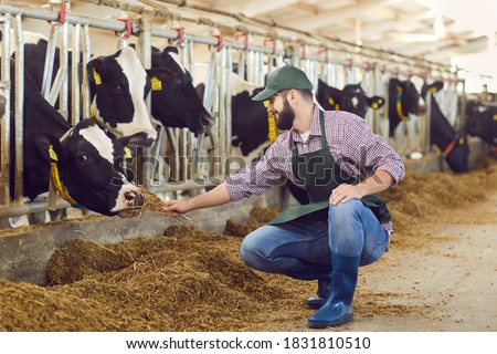 Happy, smiling male farmer sitting near stable in cowshed and feeding black-and-white cow with hay. Concepts of animal husbandry, farming business, milk production, taking care of livestock Photo stock ©