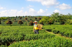 Happy smiling male tourist in Asian conical hat and yellow t-shirt standing on a tea plantation with basket for picking tea leaf, Highlands Da Lat, Vietnam