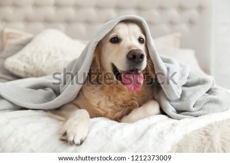 Happy smiling young golden retriever dog under light gray plaid. Pet warms under a blanket in cold winter weather. Pets friendly and care concept. #1212373009