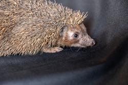 Happy spiky hedgehog being photographed
