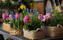 Happy spring mood baskets of flowering plants such as hyacinths, daffodils, mint, kalanchoe in a greek flower shop in springtime. Horizontal. Daylight. Close-up.