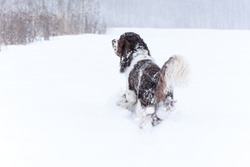 Happy springer spaniel dog running in winter nature. Back view. Funny dor playing in snow on winter