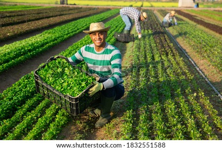 Happy successful hispanic farmer showing freshly picked green young leaves of corn salad during harvest on farm field on sunny day