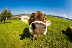 Happy swiss cow, funny fisheye nose shot