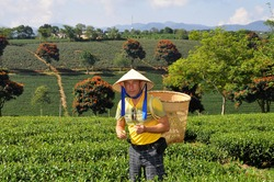 Happy tourist in Asian conical hat and yellow t-shirt standing on a tea plantation with basket for picking tea leaf and looking at camera, Highlands Da Lat, Vietnam