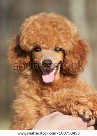Happy Toy poodle puppy close-up portrait (outdoor)