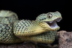 Happy Venomous Bush Viper Snake (Atheris squamigera)