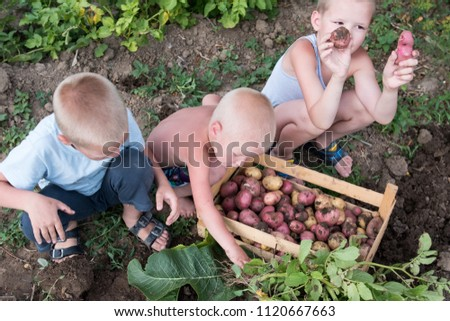 Happy village children help to collect first harvest of young potatoes in garden. Boys are happy together on vacation in village. Concept of ecological nutrition, biological, vegetarian style