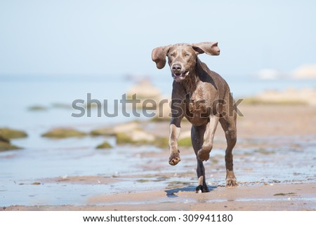 happy weimaraner dog running on the beach