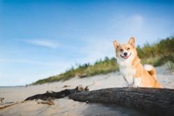 Happy welsh corgi pembroke dog at a beach
