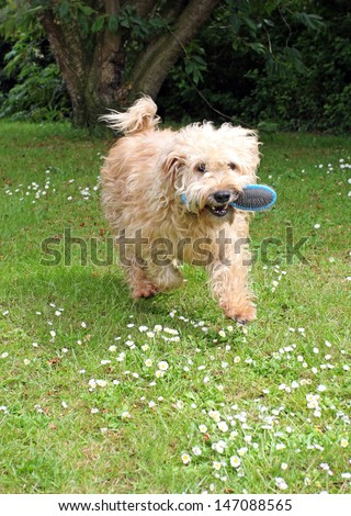 Happy Wheaten terrier running outside with a dog brush in its mouth, wanting a groom.