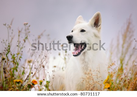 happy White German Sheepdog in autumn Weisser Schweizer Schäferhund  Berger Blanc Suisse