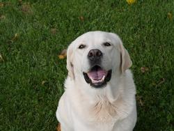 Happy White Labrador Retriever Outside