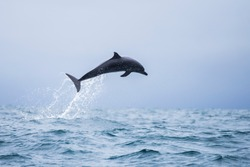Happy wild pantropical spotted dolphin, Stenella attenuata, jumps free near a whale watching boat in the middle of the Pacific coast off Uvita, in Costa Rica.
