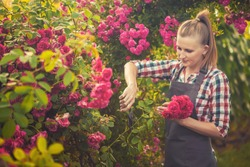Happy woman gardening and pruning rose bush with garden shears