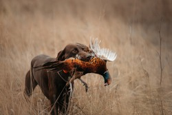happy working dog bringing a pheasant game on a hunt