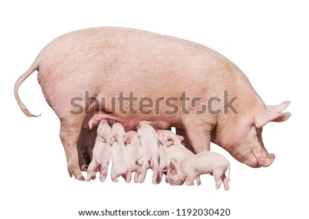 Happy yellow earth pig isolated on white background. Sow and piglets. Symbol of the Chinese New Year. Little piglets eat milk from mom. Mother pig feed children. Cute animals.