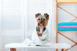 Happy yorkshire terrier dog after bath