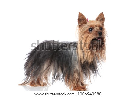 happy yorkshire terrier female standing with mouth open on white background and looks to side  #1006949980