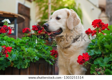 Happy young adorable golden retriever puppy dog sitting near wooden baskets with red flowers in country house backyard or garden. Copy space background.                                 #1303251514