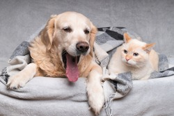 Happy young golden retriever dog and cute mixed breed red cat under cozy tartan plaid. Animals warms under black and white blanket in cold winter weather. Friendship of pets. Pets care concept.