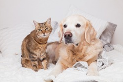 Happy young golden retriever dog and cute mixed breed tabby cat under cozy  plaid. Animals warms under gray and white blanket in cold winter weather. Friendship of pets. Pets care concept.