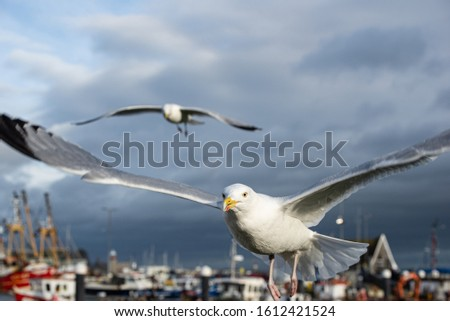 Harbor seagull on a windy day