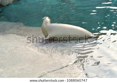 harbor seal and Harbor seals