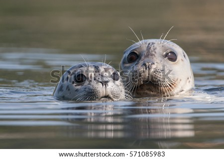 Harbor Seal Mom and Pup (Phoca vitulina) - Victoria BC, Canada