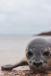 Harbor Seal Pup - Deer Isle Maine
