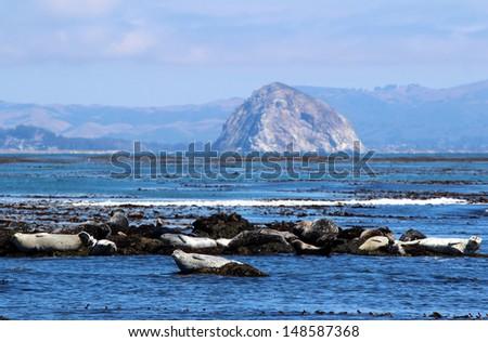 Harbor Seals and Morro Rock, Central Coast, California, USA