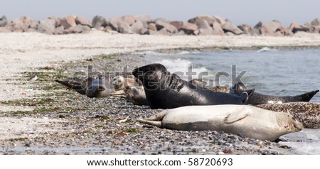 Harbor Seals on the beach - stock photo