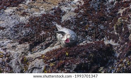 Harbor Seals on the N. California coast Foto stock ©