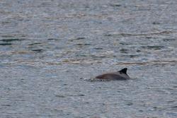 Harbour porpoise on the baltic sea of Denmark