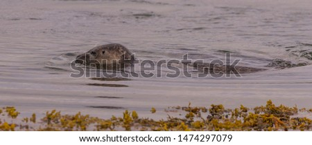 Harbour seal with head and back above the water and seaweed at the front of the picture