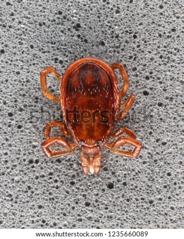 Hard-bodied ixodid tick (Ixodes sp.) (male) #1235660089