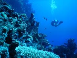 Hard coral on Far Garden seafloor in Straits of Tiran - Red Sea in Egypt