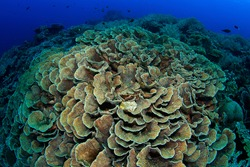 Hard coral reef with healthy lettuce coral growing. Underwater image taken scuba diving in Indonesia