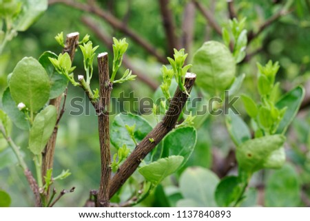 Hard pruning for neglected lime trees and put forth leave-buds