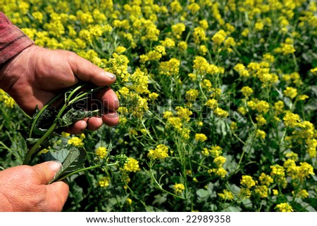 Hard working farmer's hands hold canola plant.