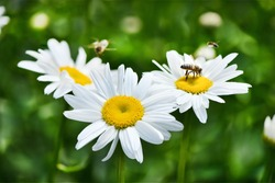 Hard working wild bee crawling on ryltse of chamomile flower and collects nectar for honey. High resolution photo. Selective focus. Shallow depth of field.